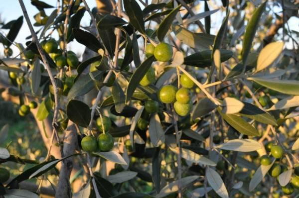 origine dell´olio extravergine di oliva